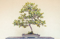 Camellia Sasanqua-Bonsaibaum lizenzfreie stockbilder