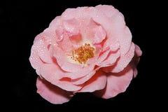 Camellia sasanqua Stock Images