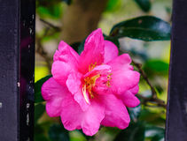 Camellia sasanqua flower with leaves Royalty Free Stock Photos