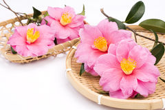 Camellia sasanqua flowers Royalty Free Stock Photo
