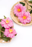Camellia sasanqua flowers Royalty Free Stock Images