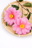 Camellia sasanqua flowers Royalty Free Stock Photos