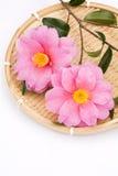 Camellia sasanqua flowers Royalty Free Stock Photos