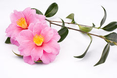 Camellia sasanqua flowers Royalty Free Stock Photography