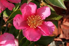 Camellia sasanqua, sasanqua camellia. Ornamental shrub with lustrous serrate simple leaves up to 5 cm long and magenta to pink colored rose like flowers with Royalty Free Stock Photography