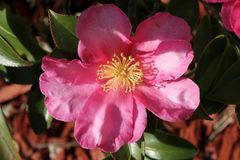 Camellia sasanqua, sasanqua camellia. Ornamental shrub with lustrous serrate simple leaves up to 5 cm long and magenta to pink colored rose like flowers with Stock Photo