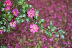 Camellia sasanqua Stock Photos