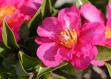 Camellia sasanqua, sasanqua camellia. Ornamental shrub with lustrous serrate simple leaves up to 5 cm long and magenta to pink colored rose like flowers with Stock Images
