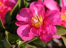 Camellia sasanqua, sasanqua camellia, Royalty Free Stock Images