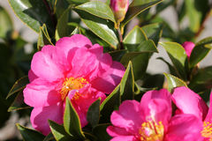 Camellia sasanqua, sasanqua camellia. Ornamental shrub with lustrous serrate simple leaves up to 5 cm long and magenta to pink colored rose like flowers with Royalty Free Stock Photos