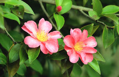 Camellia Stock Photography