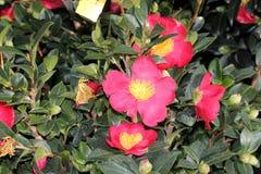 Camellia sasanqua `Yuletide` Royalty Free Stock Photo