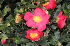 Camellia sasanqua `Yuletide` Royalty Free Stock Image