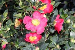 Camellia sasanqua `Yuletide` Stock Photo