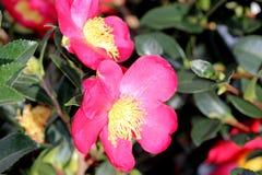 Camellia sasanqua `Yuletide` Stock Image