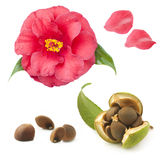 Camellia Seeds And Flower On A White Background Royalty Free Stock Image