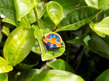 Camellia Shield Bug oder Tee-Langwanze Stockfoto