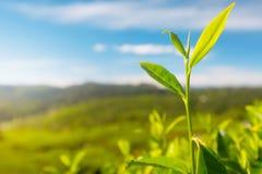 Camellia sinensis tea Stock Photos