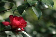Camellia. Single camellia flower in a garden Royalty Free Stock Image