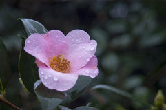 Camellia. Small pink camellia in the garden Stock Photos