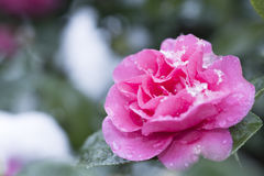 Camellia in snow. Pink flowers of camellia blooming in snow at the park of Tokyo in winter royalty free stock images