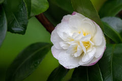 Camellia tea flower tsubaki in white pink petal with yellow st Stock Photography