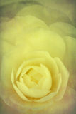 Camellia with texture Royalty Free Stock Images