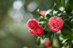 Camellia tree Royalty Free Stock Photo