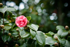 Camellia tree. A beautiful pink camellia in the tree Stock Photo