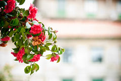 Camellia tree. Tree branch full of camellias Stock Image
