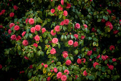 Camellia tree. A beautiful tree full of camellias in winter Stock Images