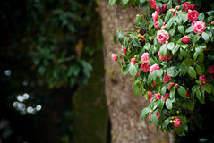 Camellia tree. A camellia tree with green leaves Stock Images