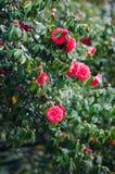Camellia tree Stock Image