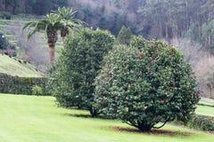 Camellia trees garden in Soutomaior Spain. Garden of camellia trees near the castle of Soutomaior in Galicia Spain stock photo