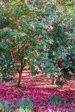 Camellia Trees Surrounded by a Carpet of Pink Flowers Stock Photos