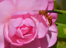 Camellia with wasp. Camellia with a red wasp Stock Photo