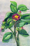 Camellia watercolor illustration Royalty Free Stock Photos