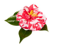 Camellia on white background Stock Photos