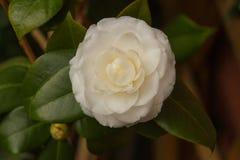 Camellia white flower in blossom stock images