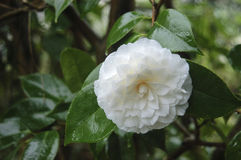 Camellia Stock Photo