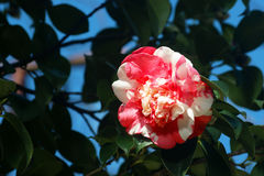 Camellia. White and pink camellia in the spring garden Royalty Free Stock Photo