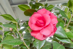 Camellia 'William Forest Bray' Royalty Free Stock Images