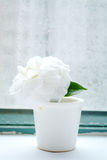 Camelliae in cup Royalty Free Stock Image