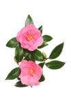 Två camellias arkivbild