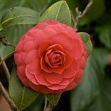 Camellia Arkivbilder