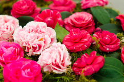 Camellias Stock Photography