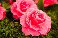 Camellias Royalty Free Stock Photography