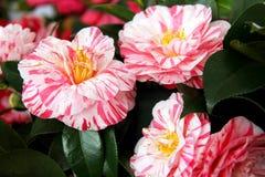 Camellias Royalty Free Stock Photo