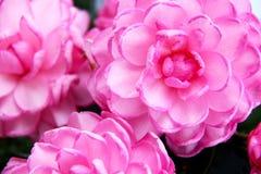 Camellias Stock Photos