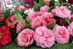 Camellias Stock Images